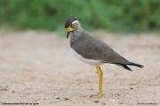 Vanellus malabaricus002.Udawalawe NP.Sri Lanka.28.11.2018