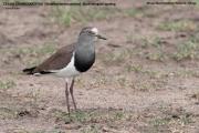 041.051.Vanellus_melanopterus001.Masai_Mara_N.R.Kenia.12.12.2014