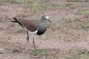 Vanellus_melanopterus004.Masai_Mara_N.R.Kenia.12.12.2014
