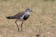 Vanellus_melanopterus006.Droga_Awasa_do_Bale_N.P.Etiopia.13.11.2009