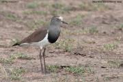 Vanellus_melanopterus002.Masai_Mara_N.R.Kenia.12.12.2014