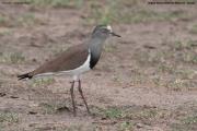 Vanellus_melanopterus003.Masai_Mara_N.R.Kenia.12.12.2014