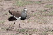 Vanellus_melanopterus005.Masai_Mara_N.R.Kenia.12.12.2014