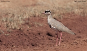Vanellus_coronatus008.Okolice_Negele.Etiopia.17.11.2009