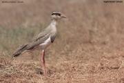 Vanellus_coronatus009.Juv.Okolice_Negele.Etiopia.17.11.2009