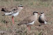 Vanellus_coronatus011.Masai_Mara_N.R.Kenia.13.12.2014