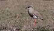Vanellus_coronatus012.Masai_Mara_N.R.Kenia.13.12.2014