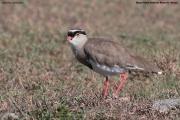 Vanellus_coronatus013.Masai_Mara_N.R.Kenia.13.12.2014