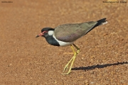 Vanellus-indicus003.Bundala-NP.Sri-Lanka.2.12.2018