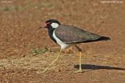 Vanellus-indicus004.Bundala-NP.Sri-Lanka.2.12.2018