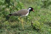 Vanellus-indicus007.Bundala-NP.Sri-Lanka.3.12.2018