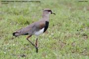 041.063.Vanellus_chilensis001.Pantanal.Brazylia.15.11.2013