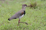 Vanellus_chilensis002.Pantanal.Brazylia.15.11.2013