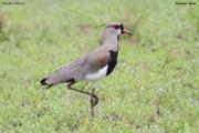 Vanellus_chilensis003.Pantanal.Brazylia.15.11.2013