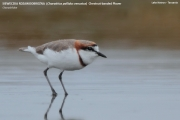 041.028.Charadrius_pallidus_venustus001.Lake_Natron.Tanzania.20.03.2013