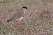 041.052.Vanellus_coronatus001.Masai_Mara_N.R.Kenia.12.12.2014
