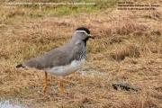 041.054.Vanellus_melanocephalus001.Sanetti_Plateau.Bale_Mt.N.P.Etiopia.15.11.2009