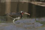 044.Rostratula_benghalensis02.Female.PJ.Kotu.Gambia.16.01.2009