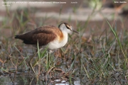 045.Actophilornis_africanus002.Juv.Kotu.Gambia.22.01.2009