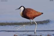 Actophilornis_africanus008.Awasa_Lake.Etiopia.12.11.2009