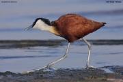 Actophilornis_africanus009.Awasa_Lake.Etiopia.12.11.2009