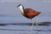 Actophilornis_africanus007.Awasa_Lake.Etiopia.12.11.2009
