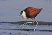 Actophilornis_africanus010.Awasa_Lake.Etiopia.12.11.2009