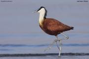 Actophilornis_africanus012.Awasa_Lake.Etiopia.12.11.2009