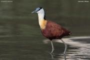 Actophilornis_africanus013.Ziway_Lake.Etiopia.21.11.2009