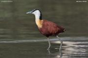 Actophilornis_africanus014.Ziway_Lake.Etiopia.21.11.2009