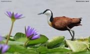 Actophilornis_africanus016.Mabamba_Swamp.Uganda.PJ.5.03.2011