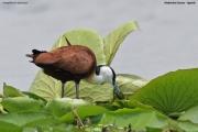 Actophilornis_africanus017.Mabamba_Swamp.Uganda.PJ.5.03.2011