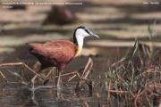 045.004.Actophilornis_africanus001.Kotu.Gambia.22.01.2009