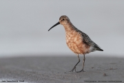 Calidris_ferruginea003.Beka.MJ.8.08.2013