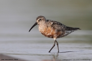 Calidris_ferruginea004.Beka.MJ.8.08.2013