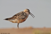 Calidris_ferruginea007.Beka.MJ.8.08.2013
