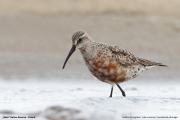 Calidris_ferruginea008.Beka.MJ.12.08.2013