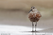 Calidris_ferruginea009.Beka.MJ.12.08.2013