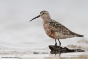 Calidris_ferruginea012.Beka.MJ.23.08.2014