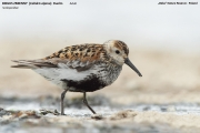 046.029.Calidris_alpina001.Beka.MJ.23.08.2014