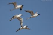 Dromas_ardeola05.Sabaki_River_Delta.Kenia.PJ.19.09.2011