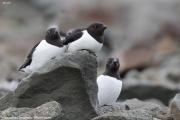 Alle alle022.Longyearbyen.Spitsbergen.MJ.5.07.2018