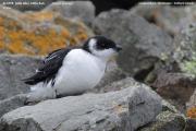 050.023.Alle alle002.Winter plumage.Longyearbyen.Spitsbergen.PJ.5.07.2018
