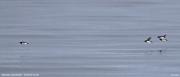 Alle alle071.Isfjorden.Spitsbergen.MJ.6.07.2018