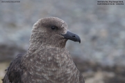 Stercorarius_maccormicki002.King_George_Is.South_Shetland_Islands.Antarctica.17.01.2019