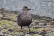 Stercorarius_maccormicki004.King_George_Is.South_Shetland_Islands.Antarctica.17.01.2019