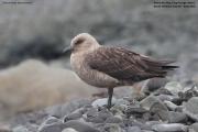 Stercorarius_maccormicki006.King_George_Is.South_Shetland_Islands.Antarctica.22.01.2019