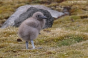 Stercorarius antarcticus lonnbergi013.Chick.King George Is.South Shetland Islands.Antarctica.19.01.2019