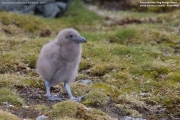 Stercorarius antarcticus lonnbergi014.Chick.King George Is.South Shetland Islands.Antarctica.19.01.2019