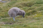 Stercorarius antarcticus lonnbergi015.Chick.King George Is.South Shetland Islands.Antarctica.19.01.2019